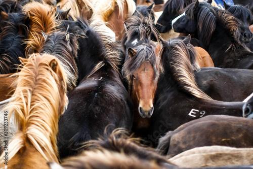 Fotografiet Troupeau dense de chevaux islandais