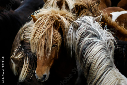 Troupeau dense de chevaux islandais Fotobehang