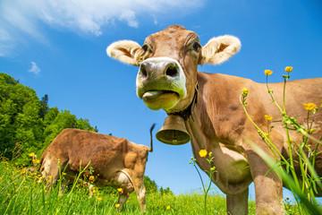 Kuh - Zunge - lustig - Allgäu - Frühling