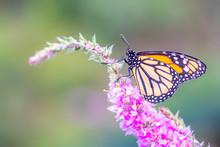 A Beautiful Monarch Butterfly Or Simply Monarch (Danaus Plexippus) Feeding On Purple / Pink Flowers In A Summer Garden. Blurry Green Background. Precious Orange Butterfly