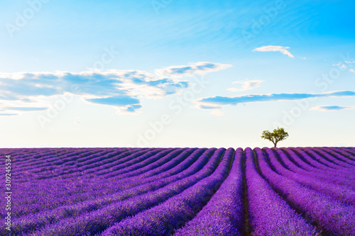 Lavender fields with lonely tree near Valensole, Provence, France. Beautiful ...