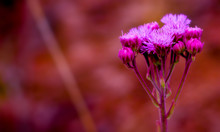 Vibrant Pink Pompom Weed Against Soft Focus Background