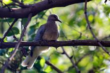 Pretty Juvenile Laughing Dove ...