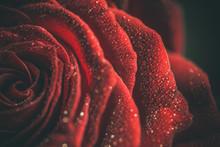 Beautiful Red Rose In Dark Col...
