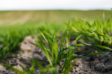 Young Wheat Seedlings Growing On A Field In Autumn. Young Green Wheat Growing In Soil. Agricultural Proces. Close Up On Sprouting Rye Agriculture On A Field Sunny Day With Blue Sky. Sprouts Of Rye.