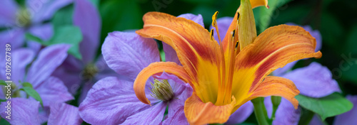 A showy orange daylily in the midst of lavender clematis