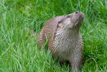 Portrait Of A Eurasian Otter  (lutra Lutra) In The Grass