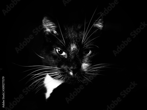 Tablou Canvas Closeup shot of an angry black cat with a black background