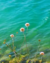 Vertical Selective Focus Shot Of Asteraceae Wildflowers At The Ocean Shore