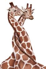 Girafe, Couple, Amoureuse, Ent...