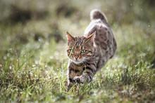 Bengal Cat Running In Wet Meadow