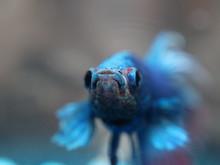 Macro Of A Siamese Fighting Fish