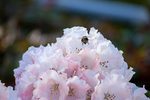 White And Pink Petals Of Rhododendrons In Full Bloom With A Bee