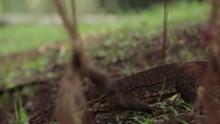 Close Up Of Varanus Salvator Wandering Around In Forest Area