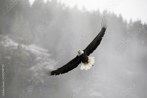 Valokuvatapetti Bald eagle flying over with wings spread
