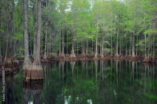 Photo Cypress trees in Florida swamp