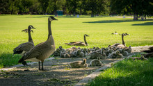 Family Of Geese #1