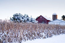Snow Covered Corn Stalks Next ...