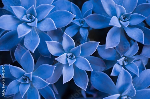 classic-blue-color-of-the-year-2020-succulent-plant-background