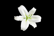 One Big White Lily Flower With...