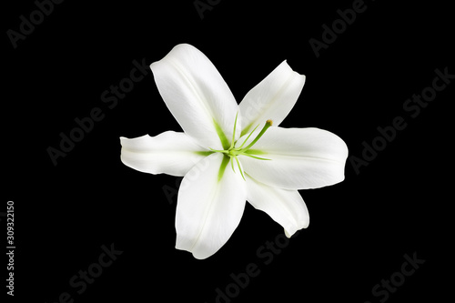 Fotografía One big white lily flower with green stamens on black background isolated close