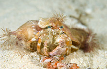 Decorator Crab With Its Shell ...