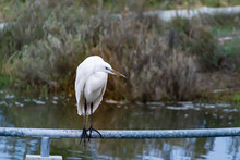 Great White Heron Perched Above A Pond On A Pole
