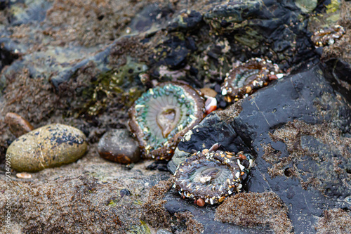 Photo three sea anemones on intertidal rocks with mollusks and seaweed
