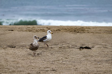 Two Seagulls On The Sandy Beach With Distant Breacking Wave