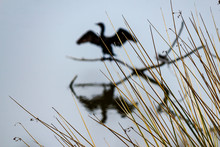 Dry Gass Curtain In Front Of Sunning Cormorant Perching On Branch