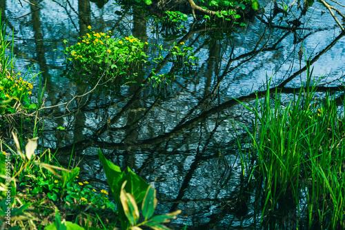 Vászonkép  小川に咲くリュウキンカ