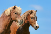 Two Icelandic Horses Looking A...