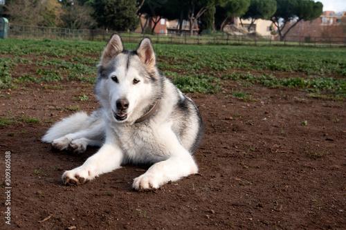 Photo alaskan malamute dog, running happy at the park in Rome