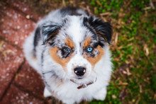 Top View Of A Beautiful 8 Week Old Little Dog. Selective Focus On The Australian Shepherd Puppy's Face. He Has One Blue Eye And One Brown.
