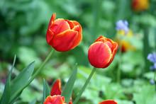 Two Beautiful Red Tulips Growi...