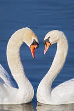 Mute Swan (Cygnus Olor) Pair H...