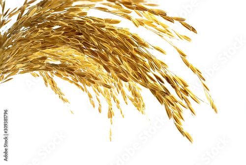 Obraz na plátně Ear of sticky paddy rice at white background