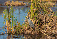 Yellow Crowned Night Heron In Pond Reeds