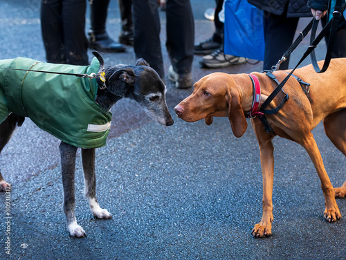 Photo  Two dogs sniff each other. City dogs walking