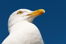 Seagull Close Up In Falmouth