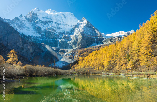 Fototapeta Beautiful of Zhuomala lake and Yellow pine forest in autumn with snow-capped mountain and blue sky in the background at Yading Nature Reserve, Sichuan, China obraz na płótnie