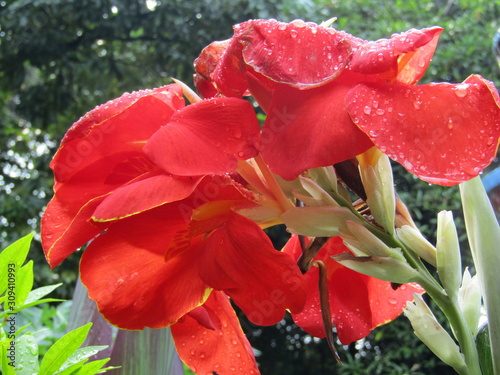 Fotografie, Obraz Beautiful white red orange Canna lily flower or kana varigata variegata or bunga tasbih with green leaves clear sky background at garden