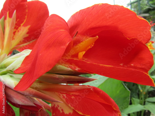 Beautiful white red orange Canna lily flower or kana varigata variegata or bunga tasbih with green leaves clear sky background at garden Canvas Print