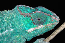 Close-up Of A Perched Panther Chameleon Showing Its Textures, Colors, And Details