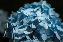 Close Up Of Pale Blue Hydrangea