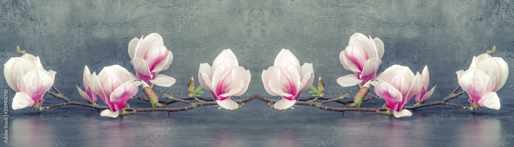 Fototapeta Beautiful blooming magnolia branch isolated on grey anthracite background panorama banner long