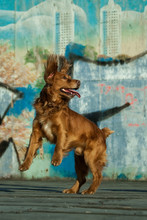 Spaniel Dog Jumping On Graffiti Background