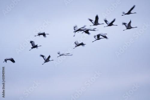 Tela  common crane grus grus grulla comun