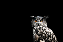 Eurasian Eagle Owl With A Blac...