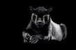 canvas print picture - Jaguar with a black background
